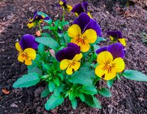 The first spring colorful pansy in the sunshine royalty free stock photography