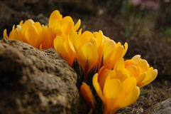 First spring crocus flowers Stock Photo