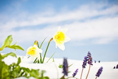 First Spring Daffodil  flowers with snow against blue sky Royalty Free Stock Photo