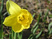 First spring daffodil royalty free stock photos