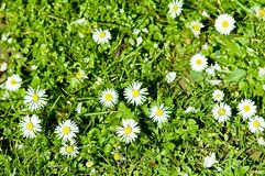 First spring daisies. The first spring daisies on green grass Royalty Free Stock Images