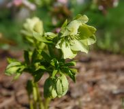 The first spring day. Blooming flowers hellebore in a sunny day, also known as Christmas or Lenten rose. Helleborus Double Ellen P. The first spring day stock photo