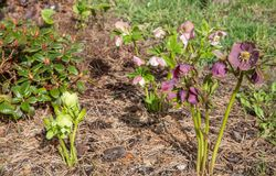 The first spring day. Blooming flowers hellebore in a sunny day, also known as Christmas or Lenten rose. Helleborus Double Ellen P. Ink, Purple, Green royalty free stock photo