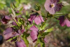 The first spring day. Blooming flowers hellebore in a sunny day, also known as Christmas or Lenten rose. Helleborus Double Ellen P. Urple royalty free stock image