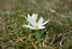First spring flower. After the snowy winter Royalty Free Stock Photography