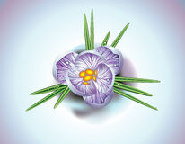 First spring flower. A tender crocus flowers in to snow Stock Photos