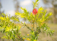 First Spring Flower of Australian Callistemon Stock Photography