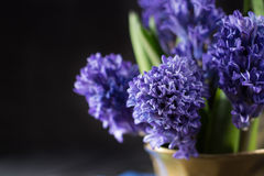 First spring flower - blue hyacinth in brass vase Stock Photo