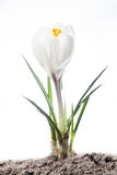 First spring flower - crocus. White crocus flower in soil isolated on white Stock Photography