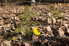The first spring flower. Foalfoot or Tussilago Farfara - the first flowers in early spring Stock Photography