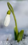 First spring flower growing from snow royalty free stock image