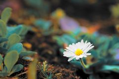 The first spring flower piercing through moss royalty free stock photography