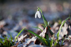 First spring flower snowdrop royalty free stock photography