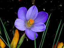 First spring flower Royalty Free Stock Images