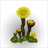 First spring flower, yellow coltsfoot. Vector illustration Stock Photography