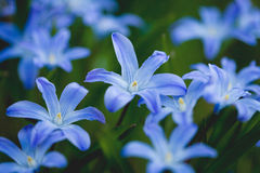 First spring flowers. Beautiful bluebells early in the morning Royalty Free Stock Images