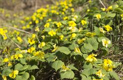 The first spring flowers royalty free stock images