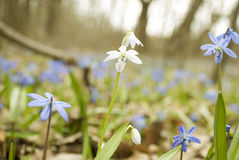 First spring flowers Stock Photography