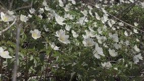 First spring flowers Anemone Dubravnaya.  stock footage