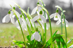 First spring flowers backlit snowdrops on sunshine Alpine glade Royalty Free Stock Photo