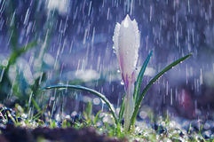 Beautiful spring white crocus in the spring rain royalty free stock image
