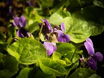 First spring flowers beautiful Wild Violet. First spring flowers this year, Wild Violet on a wonderful sunny day royalty free stock photos