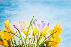 First spring flowers on blue background, side view. Crocuses and Narcissus bunch Royalty Free Stock Photos