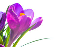 First spring flowers - bouquet of purple crocuses Stock Photos