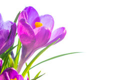 First spring flowers - bouquet of purple crocuses Royalty Free Stock Images