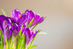 First spring flowers - bouquet of purple crocuses Stock Image