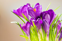 First spring flowers - bouquet of purple crocuses Stock Photography