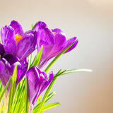 First spring flowers - bouquet of purple crocuses Stock Photo