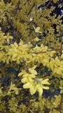 The first spring flowers - bright yellow forsythia stock images