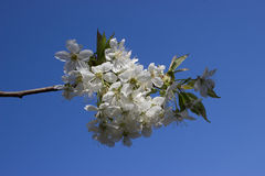 The first spring flowers of cherry tree royalty free stock photos