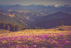 First spring flowers crocus as soon as snow descends on the background of mountains. Royalty Free Stock Images