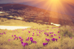 First spring flowers crocus as soon as snow descends on the background of mountains. Filtered image:cross processed vintage effect Royalty Free Stock Photo