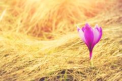 First spring flowers crocus in sunlight. stock photos