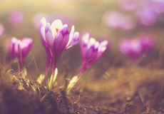 First spring flowers crocus in sunlight. Filtered image:cross processed vintage and soft focus effect Royalty Free Stock Images