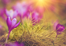 First spring flowers crocus in sunlight. Stock Image