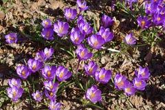First spring flowers. Crocus vernus Spring Crocus, Giant Crocus.  stock photos