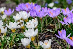 First spring flowers. Crocuses and a bee. royalty free stock photos