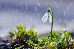 First spring flowers snowdrops with rain drops royalty free stock images
