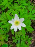 The first spring flowers, a forest anemone.  stock image