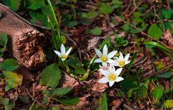 First spring flowers Royalty Free Stock Photos