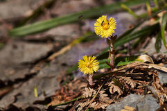 The first spring flowers on   forest thawed. Stock Photo