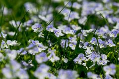 The first spring flowers Royalty Free Stock Photos