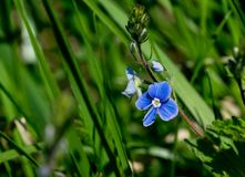 The first spring flowers Royalty Free Stock Photography