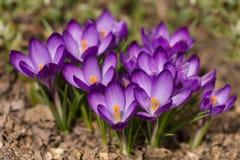 First spring flowers in garden crocus Stock Image