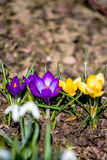 First spring flowers in garden Royalty Free Stock Photography
