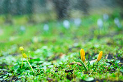 First spring flowers. In the garden. yellow crocus and spring rain Stock Images